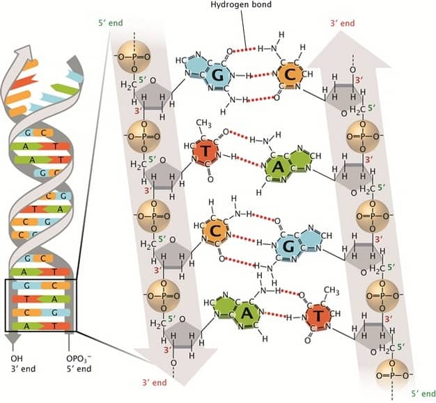 Watson-and-Crick-DNA-Structure-and-Function.